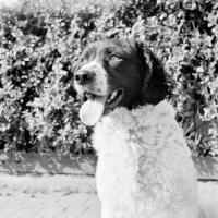 Picture of wetterhound, portrait