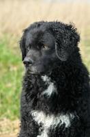 Picture of Wetterhound portrait