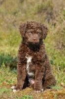 Picture of Wetterhound puppy