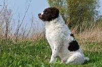 Picture of Wetterhound sitting down