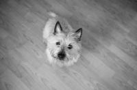 Picture of wheaten Cairn terrier sitting on hardwood floor.