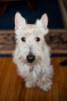 Picture of wheaten Scottish Terrier sitting on hardwood floor.