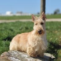 Picture of wheaten Scottish Terrier