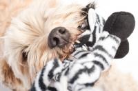 Picture of Wheaten Terrier retrieving it's Zebra toy