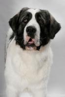 Picture of White and Gray Pyrenean Mastiff portrait