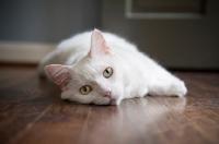 Picture of white cat lying on side on hardwood floor