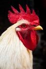 Picture of white cockerel portrait