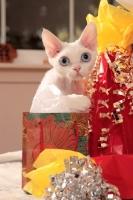 Picture of white Devon Rex near gifts