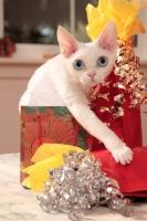 Picture of white Devon Rex near presents
