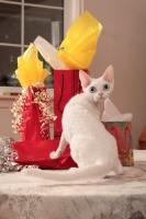 Picture of white Devon Rex with presents