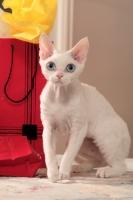 Picture of white Devon Rex