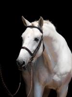 Picture of white Holsteiner