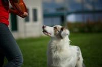 Picture of white merle australian shepherd looking up towards trainer