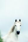 Picture of white pony, head study