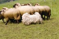Picture of white puli herding