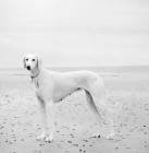 Picture of white saluki on beach
