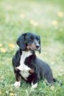 Picture of Wälderdackel - oldtype black forest hound, German breed in revival