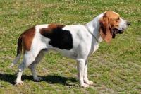 Picture of world champion chien d'artois, artois hound, side view