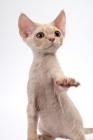 Picture of young cream Devon Rex, begging, white background
