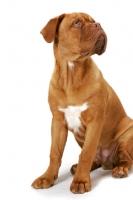 Picture of young Dogue de Bordeaux