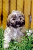 Picture of young Russian Bolonka (aka zwetnaja bolonka) puppy