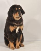 Picture of young Tibetan Mastiff in studio