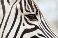 Picture of Zebra, close up