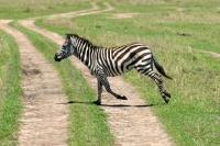 Picture of zebra running in kenya