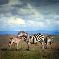 Picture of zebras in nairobi national park
